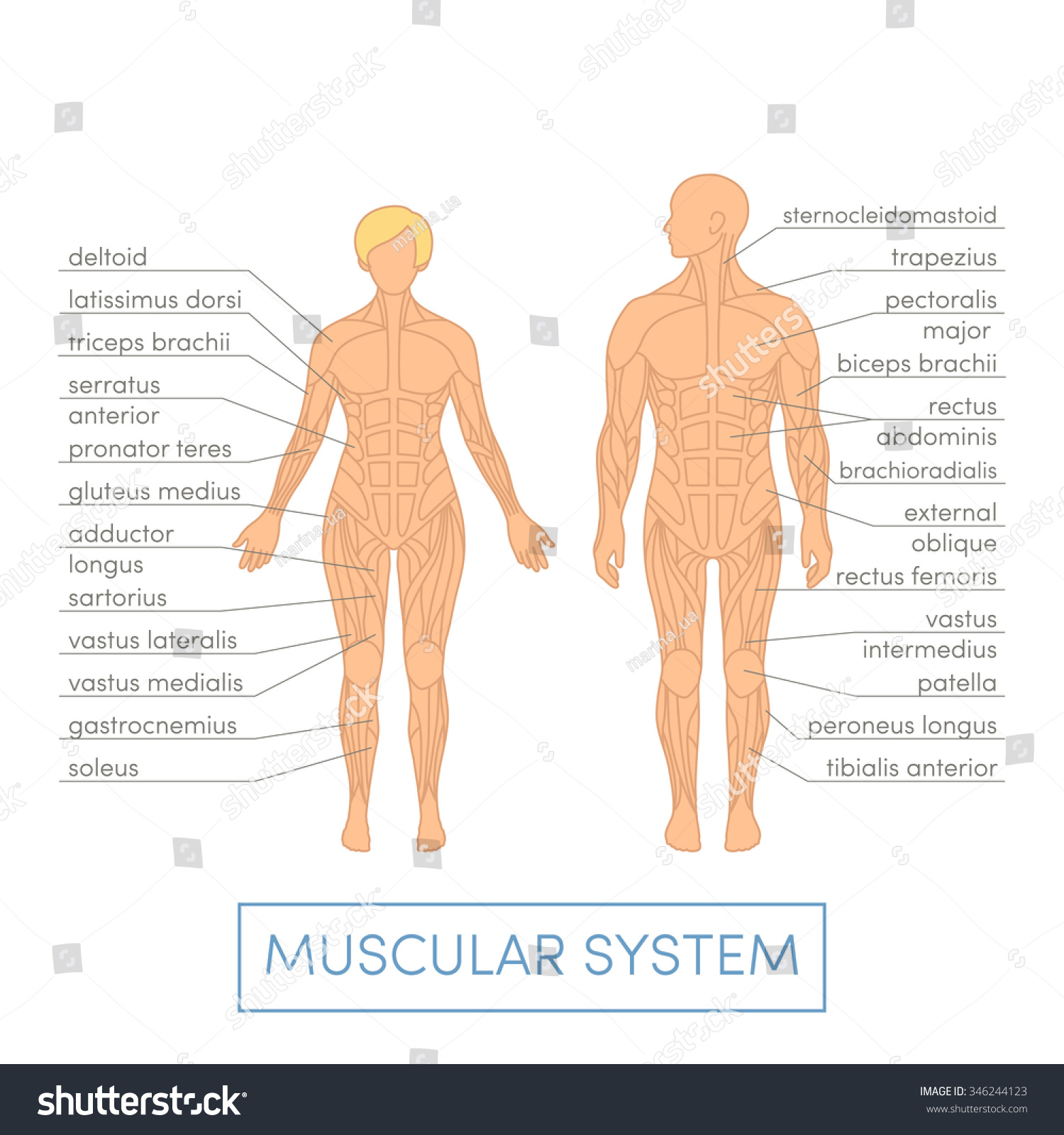 Muscular System Human Cartoon Vector Illustration Stock Vector ...