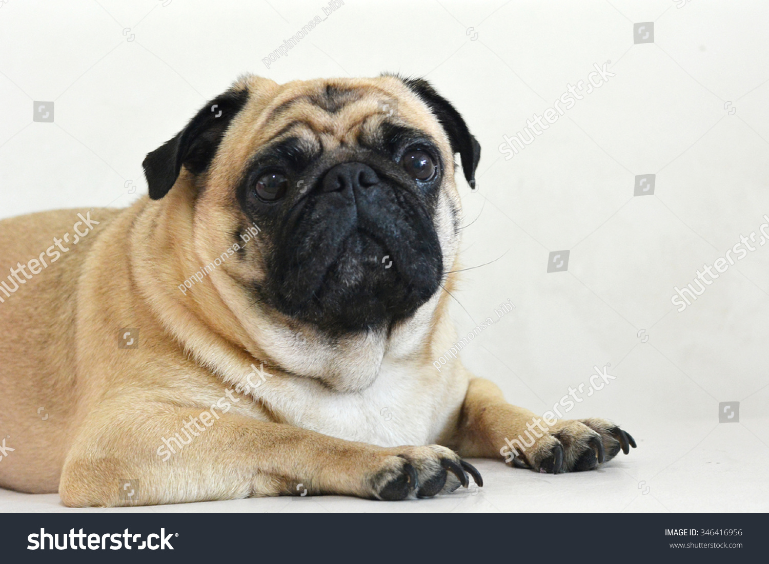 pug dog stock photo 346416956 shutterstock