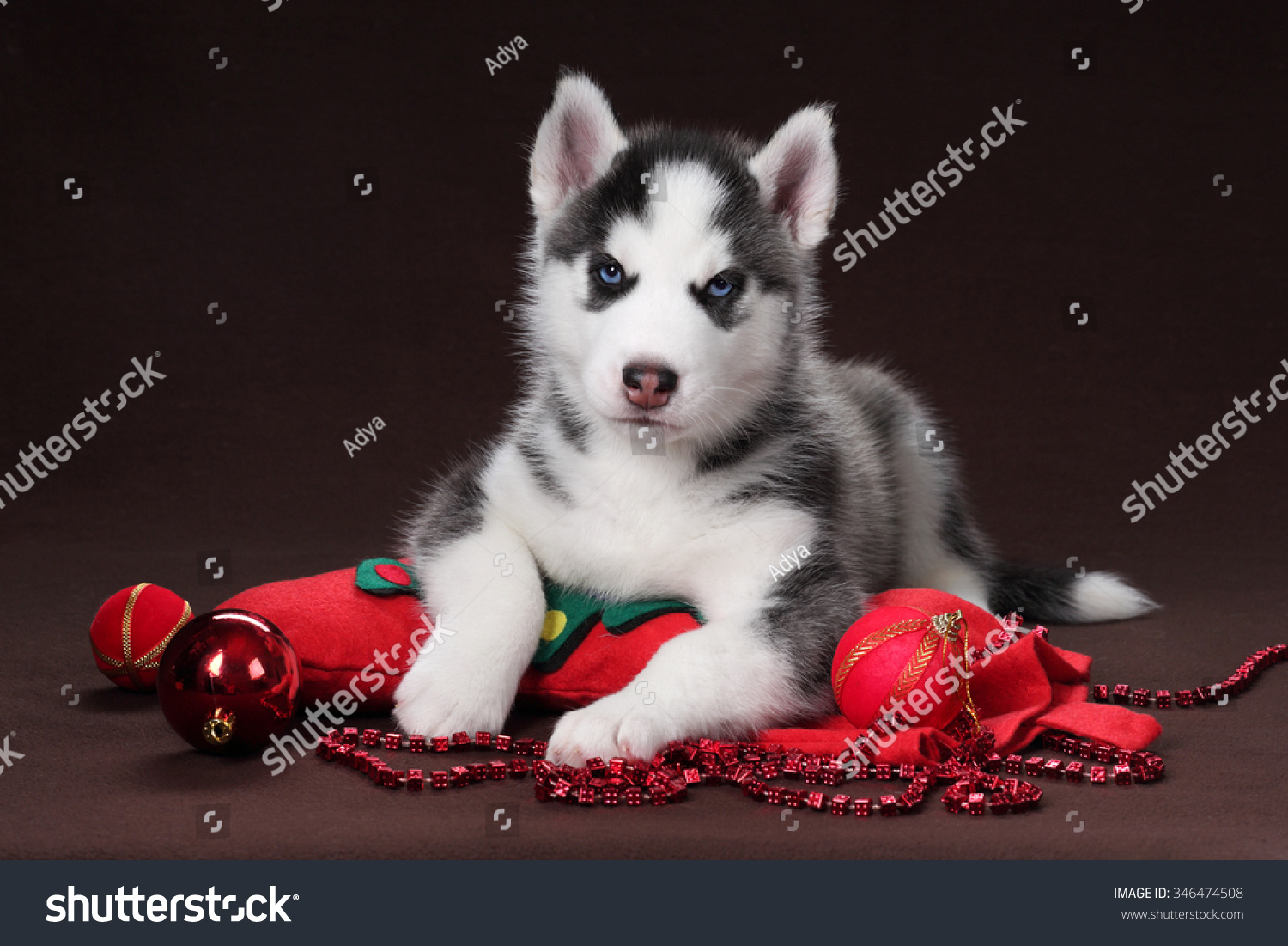 beautiful siberian husky puppy with christmas decorations