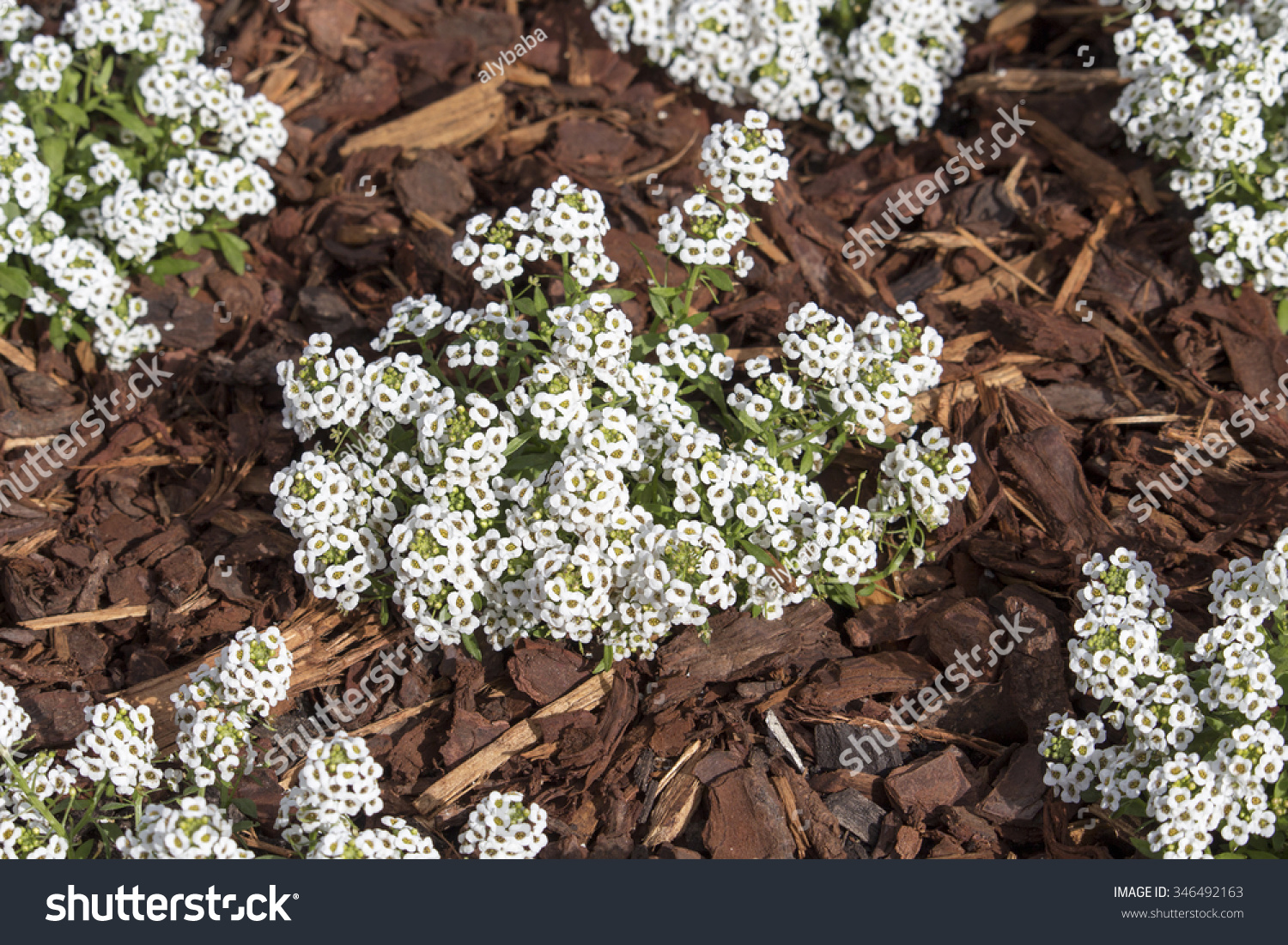 Royalty Free Dainty Snow White Flowers Of Lobularia 346492163