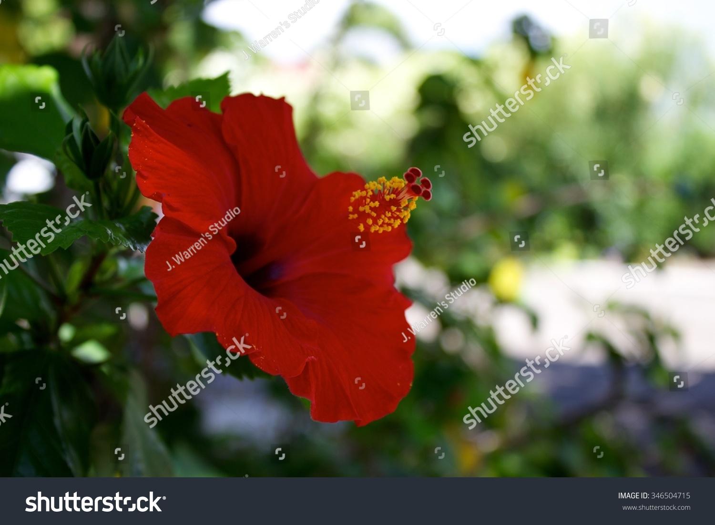 Hibiscus flower jamaica choice image beautiful exotic flowers jamaican hibiscus flower stock photo edit now shutterstock izmirmasajfo