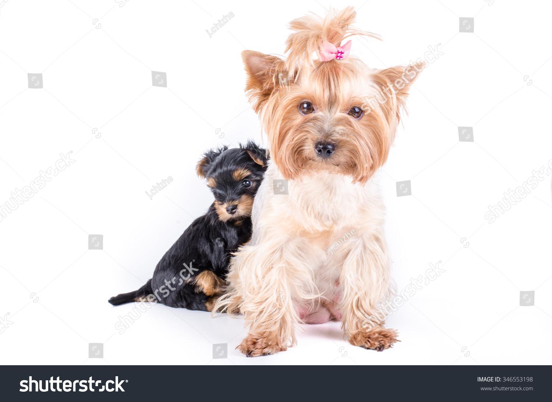 Yorkshire Terrier Mom ...