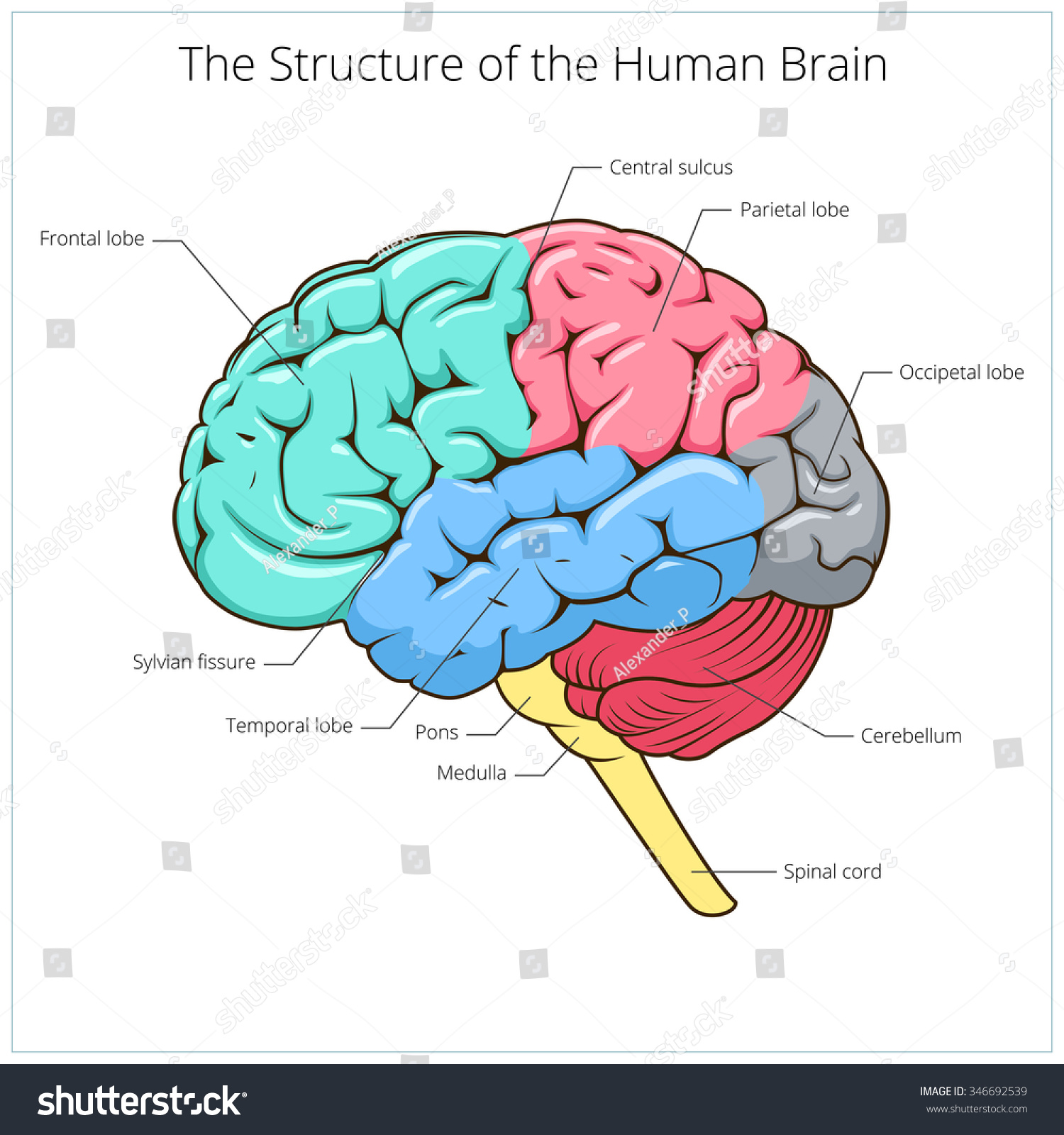 Structure of human brain schematic vector illustration Medical science educational illustration