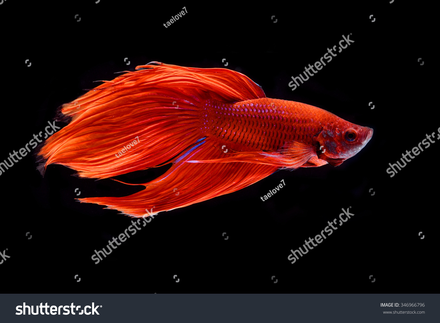 A fighting fish, Betta fish (siamese fighting fish) isolated | EZ Canvas