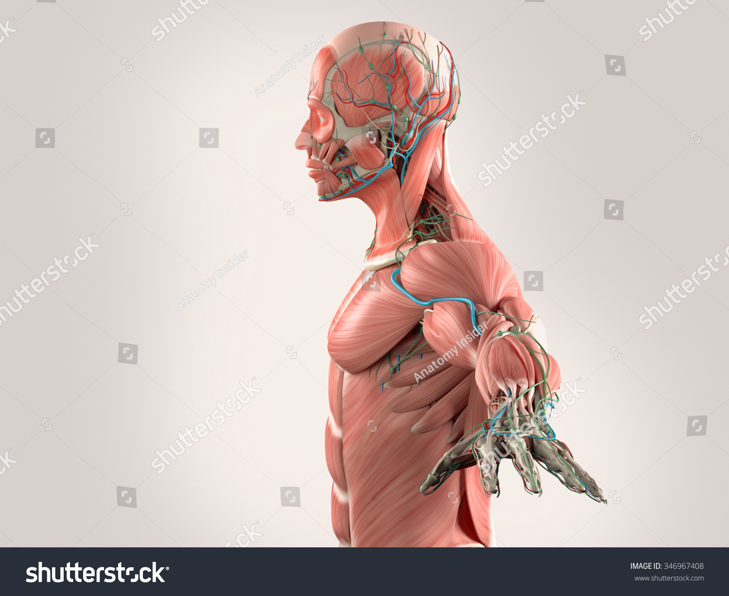 Human Anatomy Side View Head Showing Stock Illustration 346967408