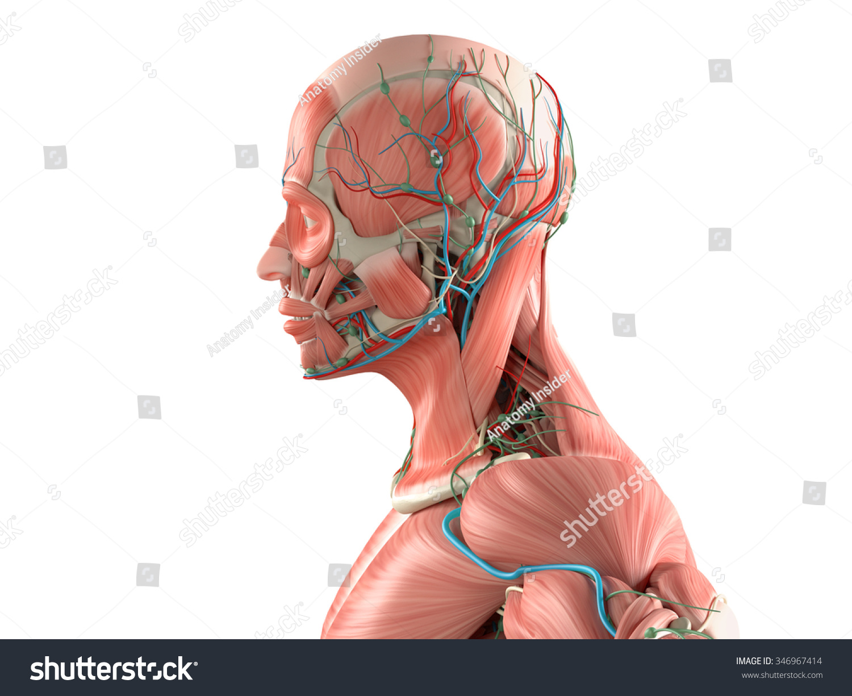 Human Anatomy Side View Medium Closeup Stock Illustration 346967414 ...