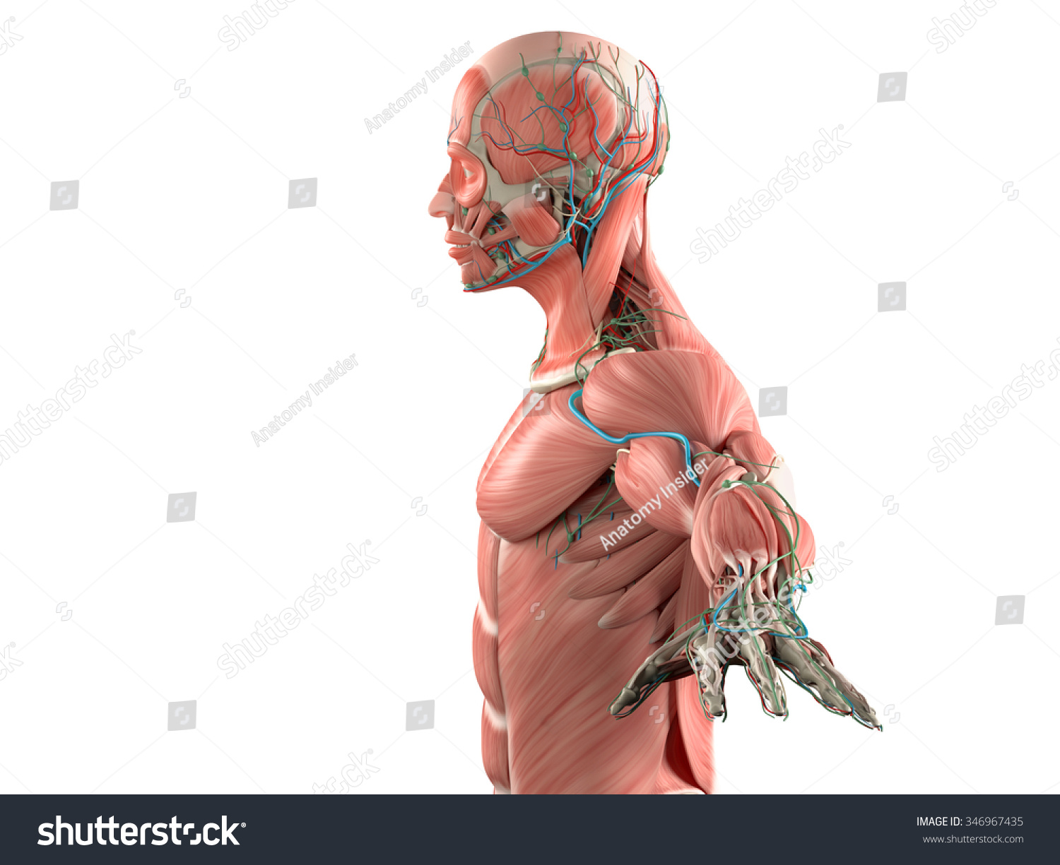 Human Anatomy Side View Head Showing Stockillustration 346967435