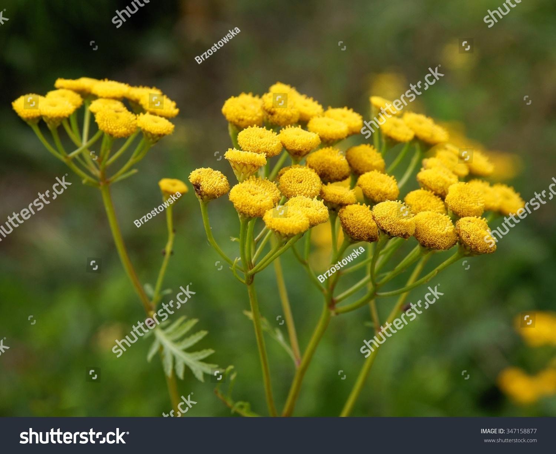 Tancy Herb Yellow Flower Stock Photo Edit Now 347158877 Shutterstock