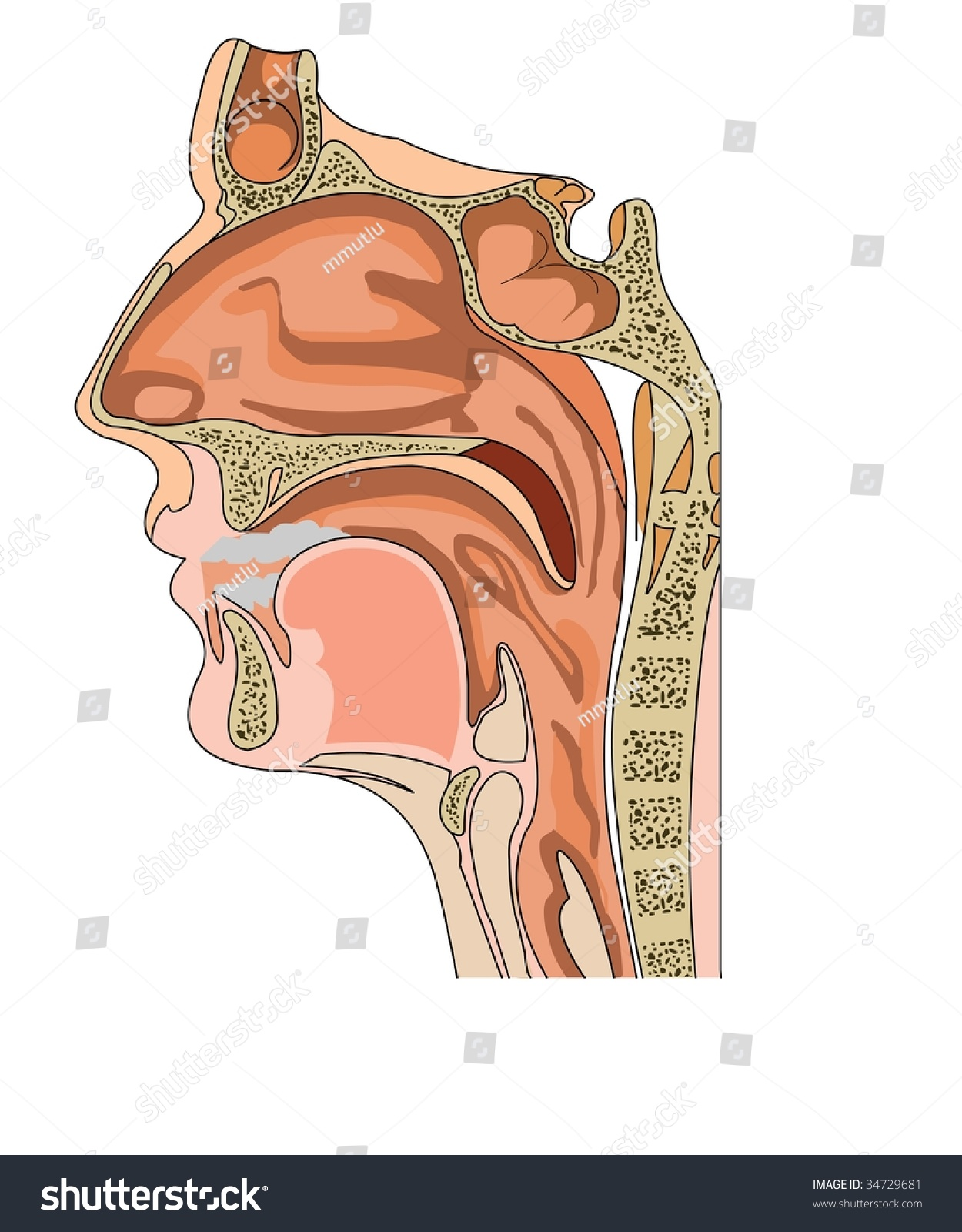 Anatomy Nose Throat Stock Vector 34729681 - Shutterstock