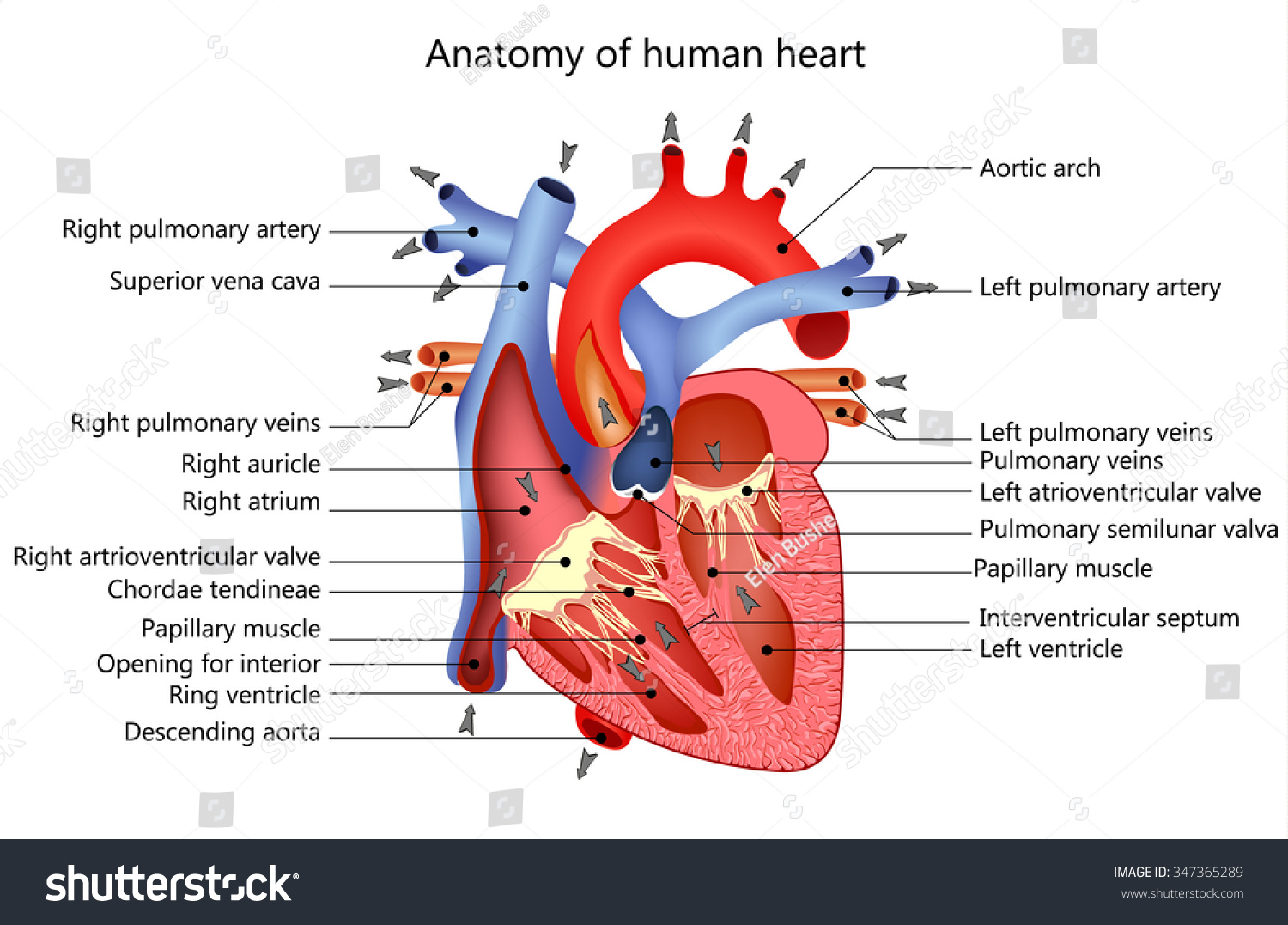 Medical Structure Heart Anatomy Illustration Stock Illustration