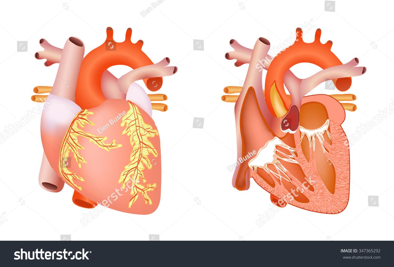 Medical Structure Heart Anatomy Illustration Stock Illustration ...