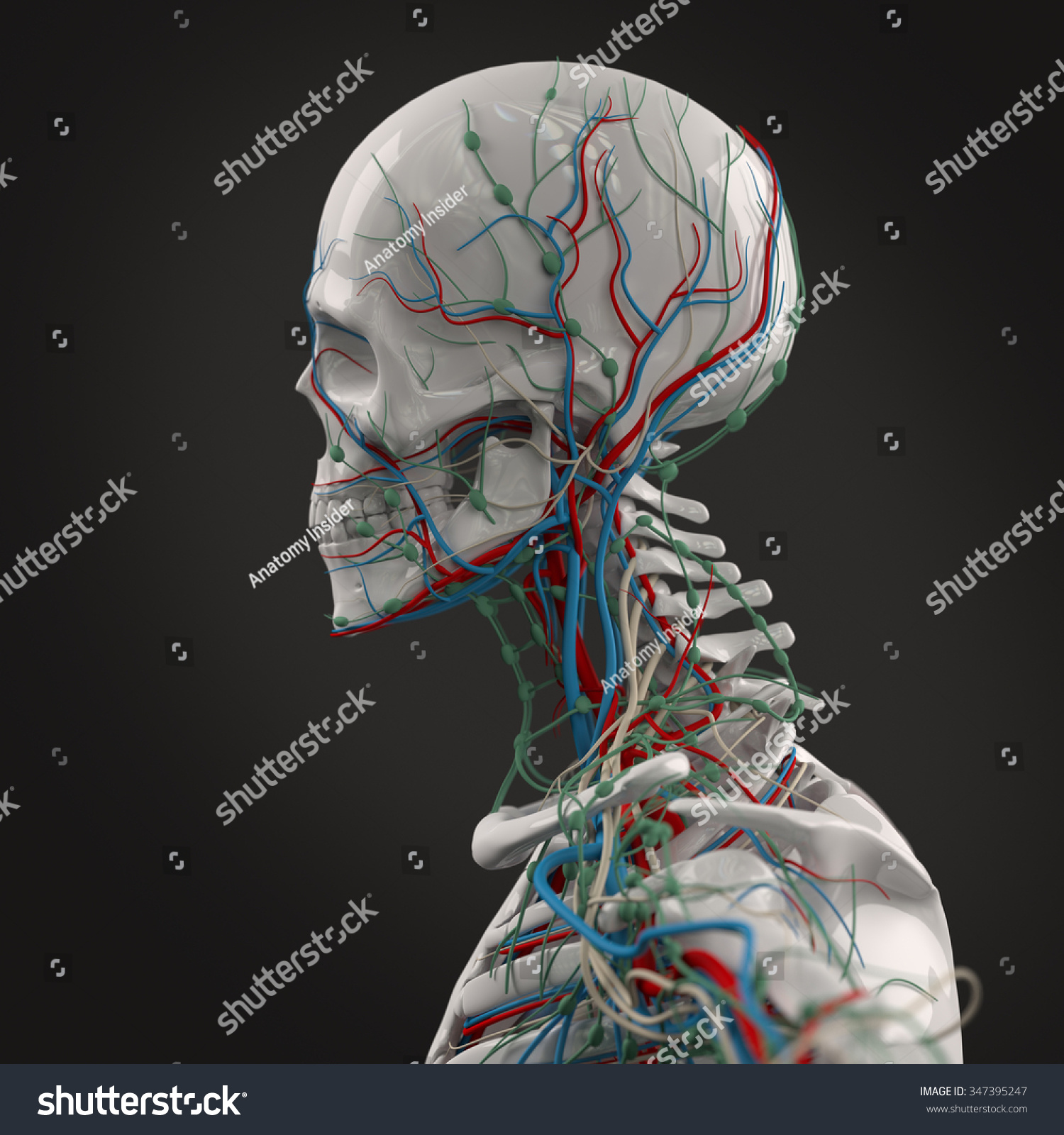 Human Anatomy Porcelain Skeleton Side View Stock Illustration