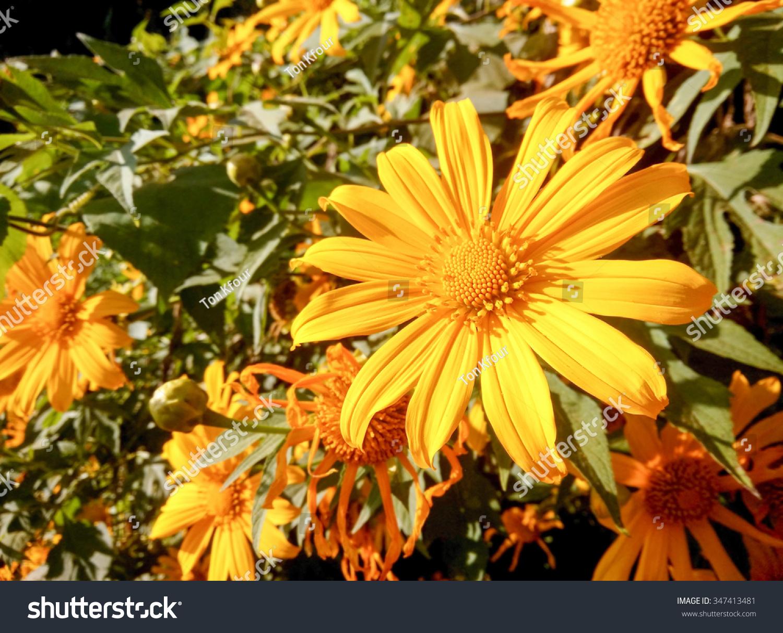 Tree Marigold Flowers Like Cold Area Stock Photo Royalty Free