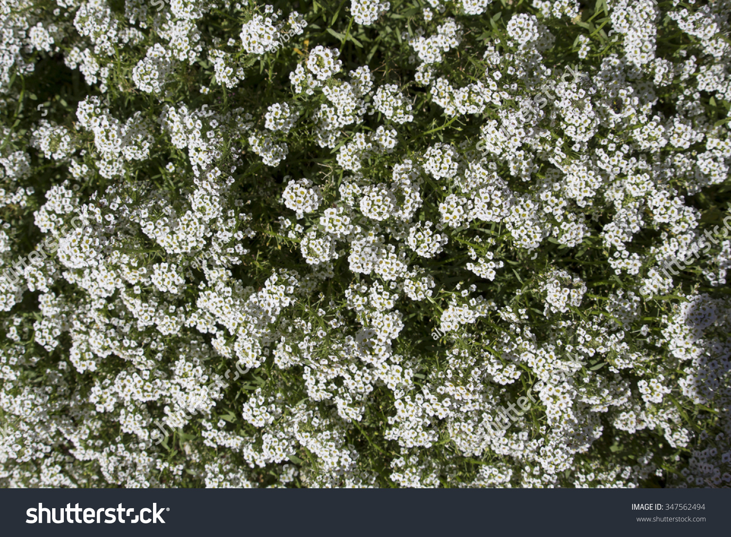 Dainty Snow White Flowers Lobularia Maritima Stock Photo Royalty