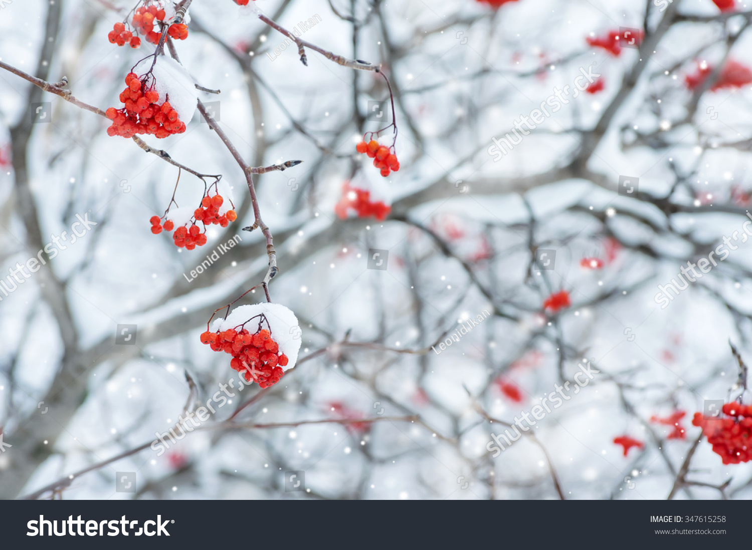 Snow-covered tree with red clusters of mountain ash