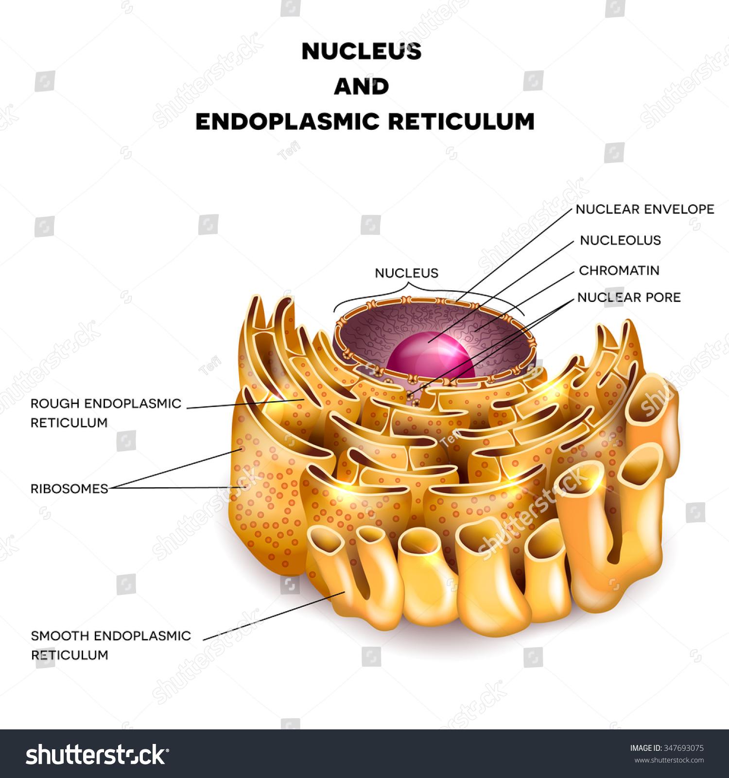 Cell Nucleus Endoplasmic Reticulum Detailed Anatomy Stock Photo ...