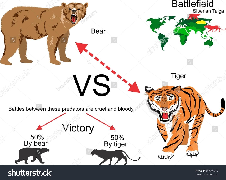 Tiger Vs Bear Infographic Illustration Stock Vector