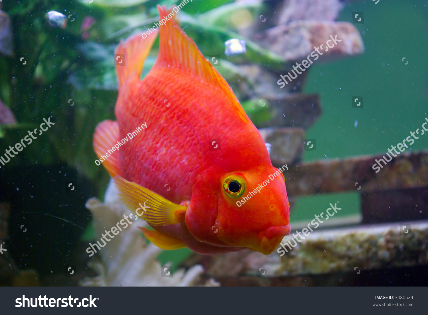 Big Red Parrot Fish Aquarium Bubbles Stock Photo (Safe to Use ...