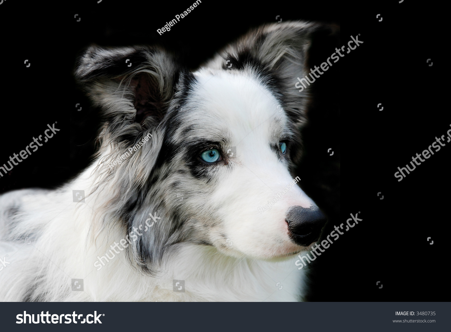 portrait of a blue merle border collie with blue eyes
