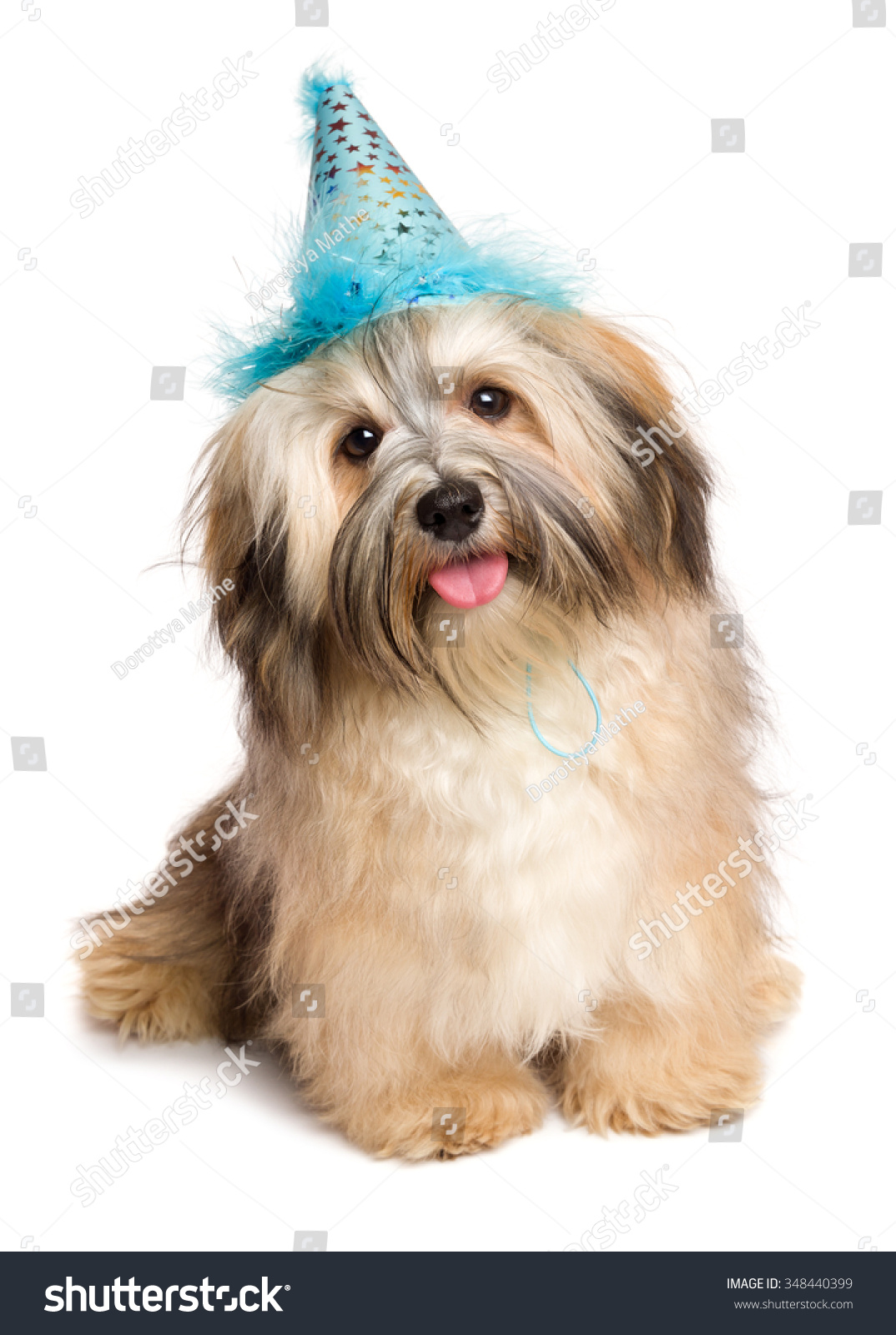 Cute happy Bichon Havanese puppy dog in a blue party hat is sitting and looking at camera isolated on white background