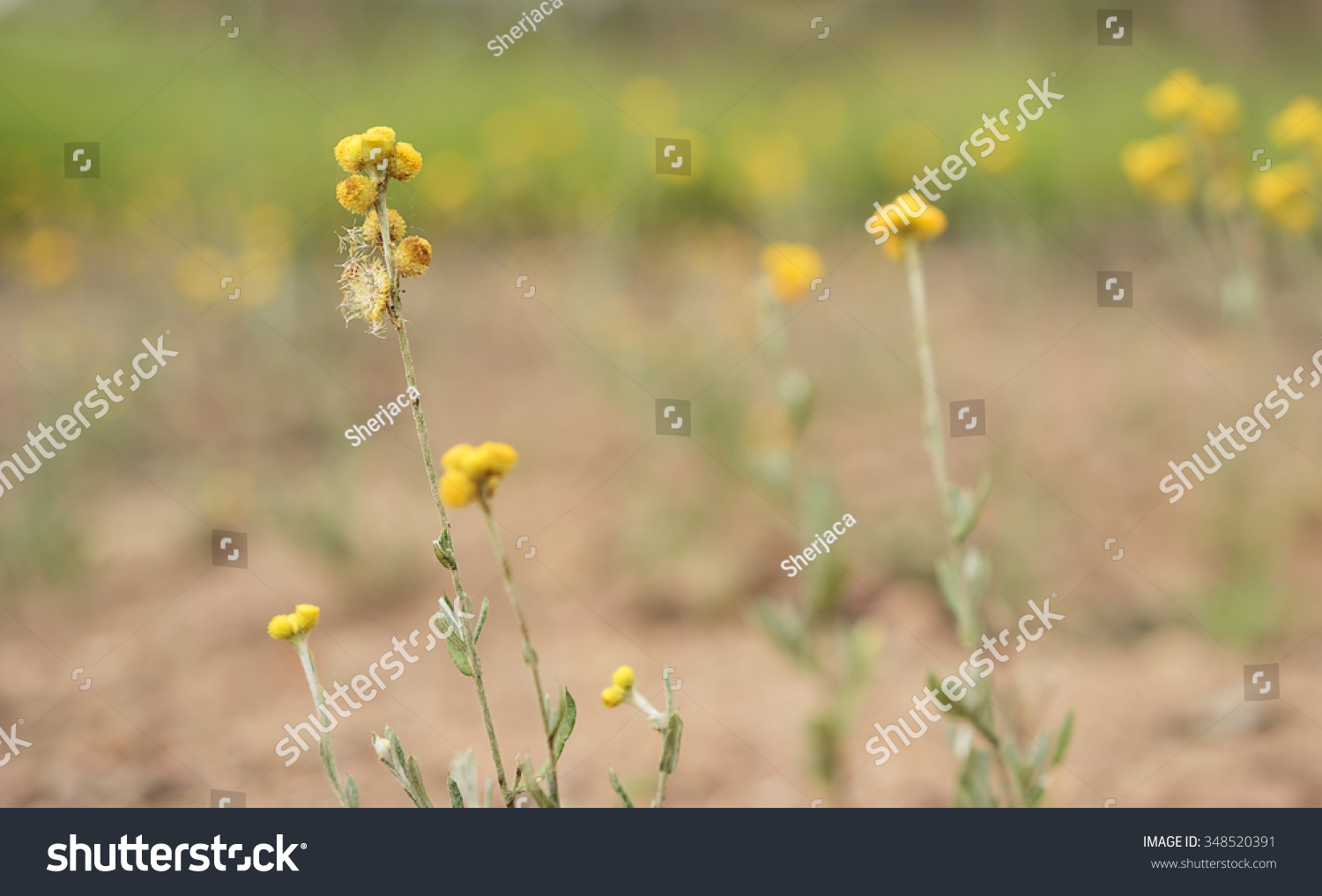 Royalty free australian spring wildflowers panorama 348520391 australian spring wildflowers panorama with yellow buttons woollyheads or billy buttons a daisy like plant in flower in eucalypt grassland izmirmasajfo