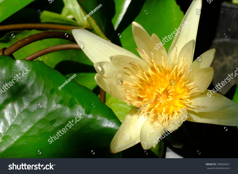 Blooming Yellow Lotus Flower Ez Canvas
