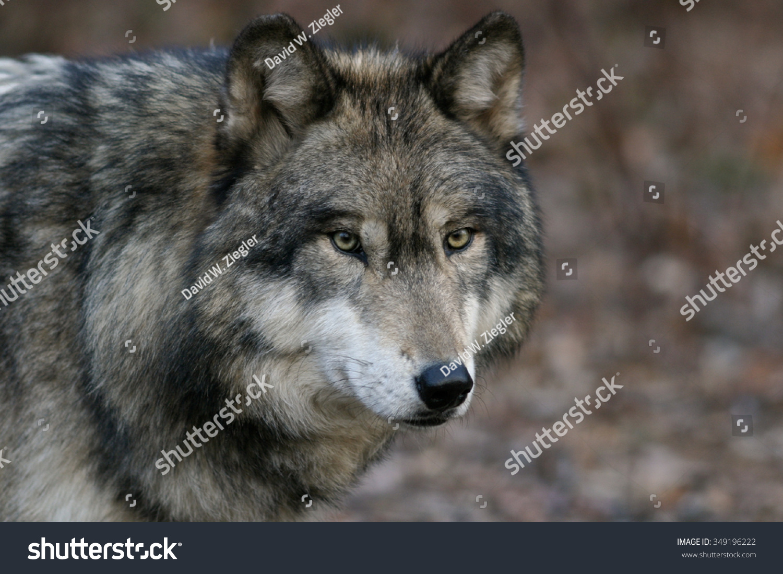 Wolf Serie