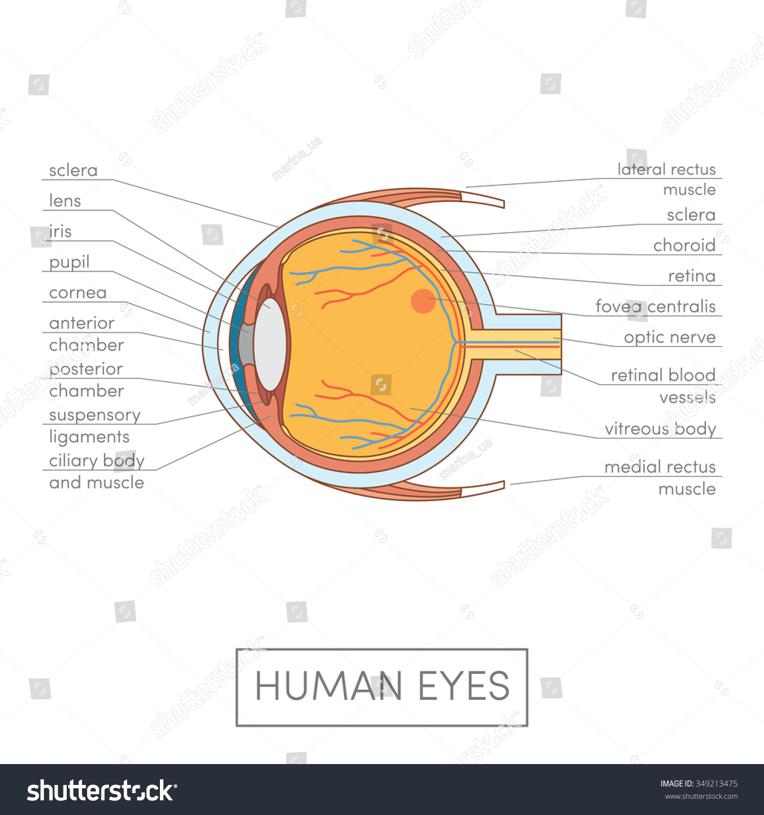 Basic Human Eye Anatomy