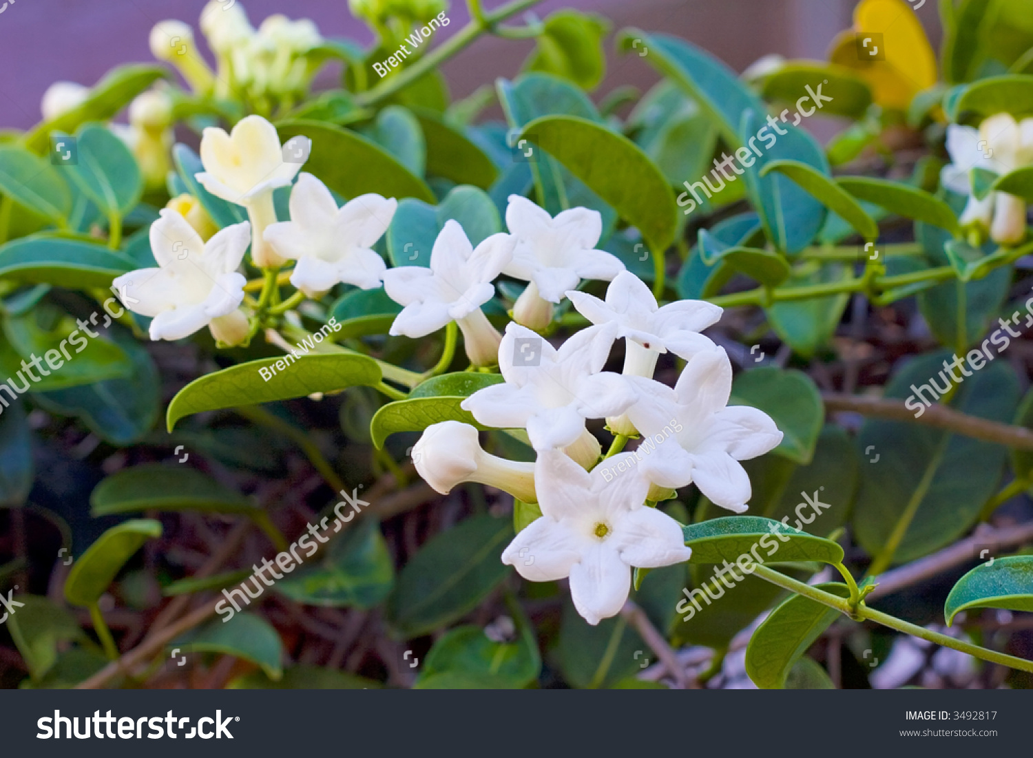 Pakalana hawaiian name chinese violet this stock photo edit now pakalana is the hawaiian name for the chinese violet this vine was introduced by immigrants izmirmasajfo