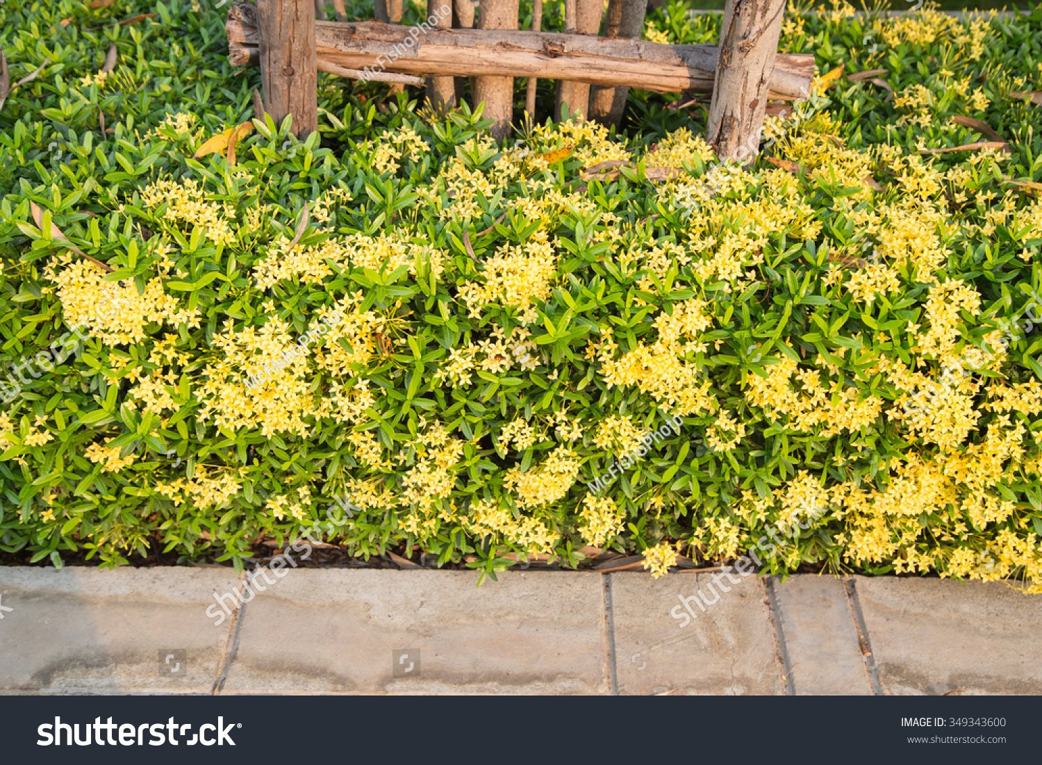 Decoration yellow flowers west indian jasmine stock photo edit now decoration with yellow flowers west indian jasmine scientific name ixora izmirmasajfo