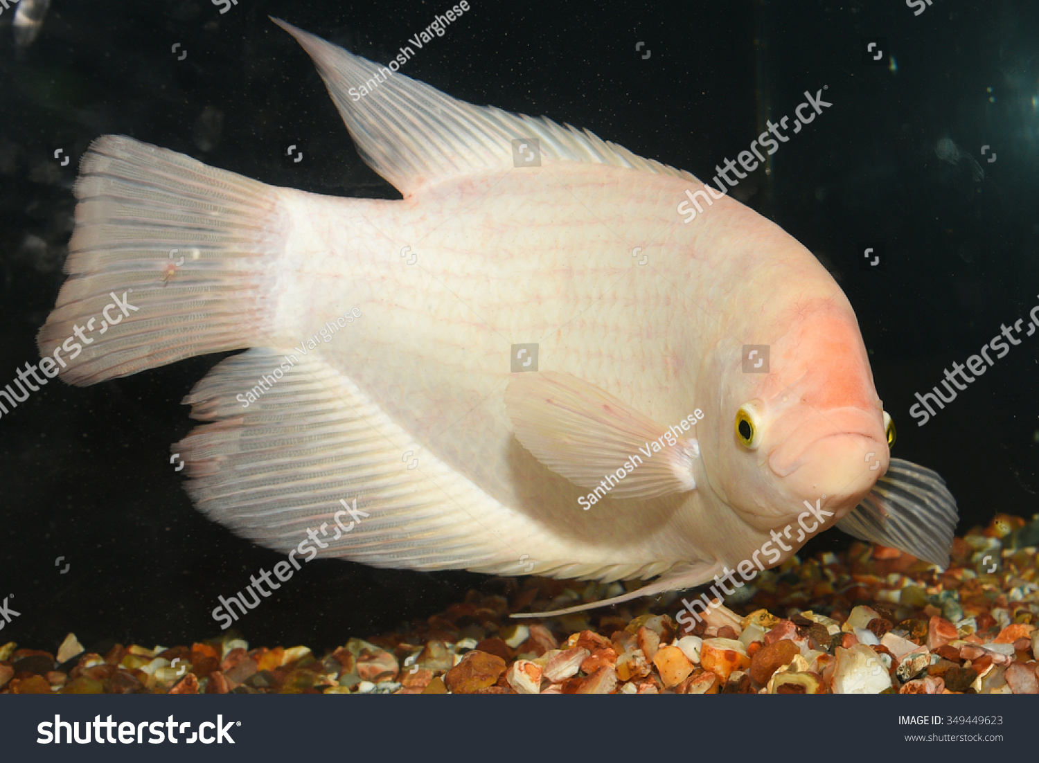 Freshwater fish kerala - Close Up Of White Albino Giant Gourami Fish In A Fresh Water Aquarium With Dark