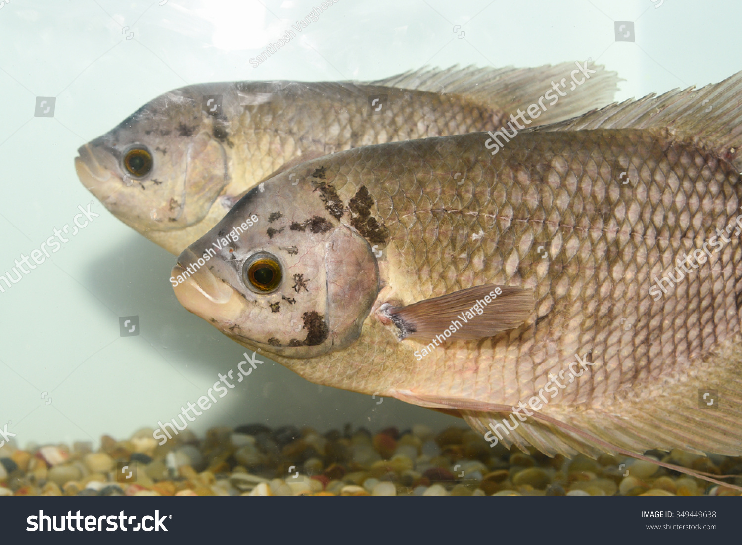 Freshwater fish kerala - A Pair Of Two Giant Gourami Fish In A Fresh Water Aquarium With Dark Background