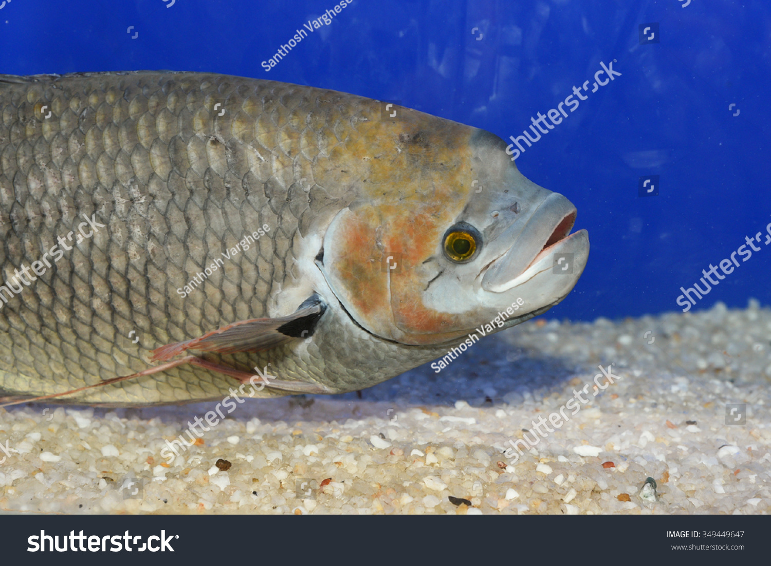 Freshwater fish kerala - Giant Gourami Fish In A Fresh Water Aquarium With Dark Background In Kerala India