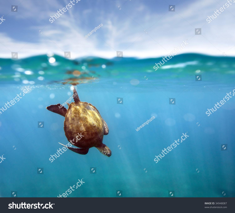 Green Sea Turtle And Coral Reef Maui Hawaii Stock Photo