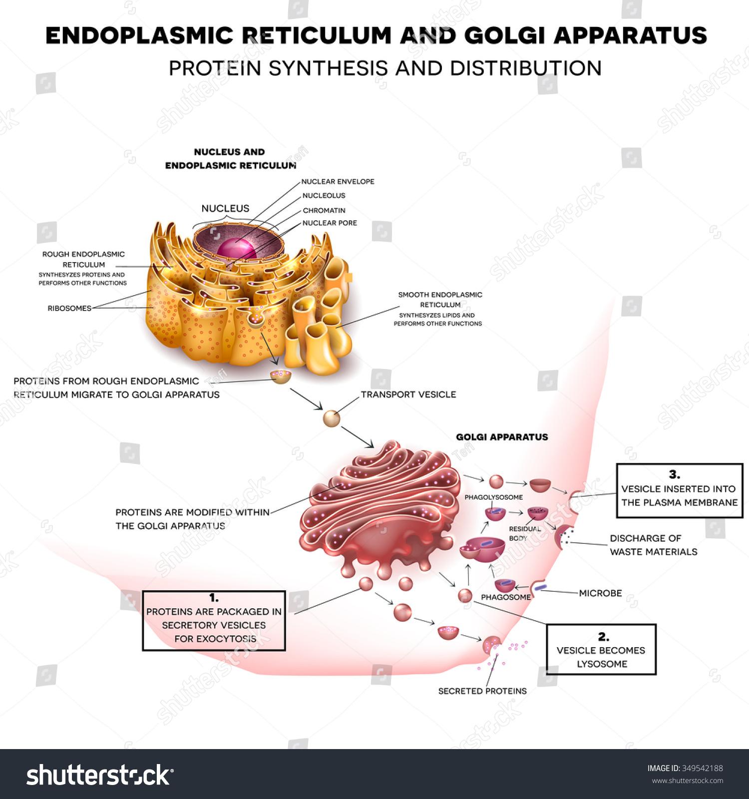 Anatomy Cell Nucleus Endoplasmic Reticulum Golgi Stockillustration