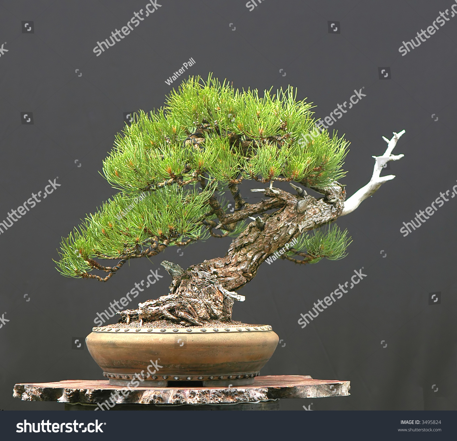Ponderosa Pine Bonsai Stock Photo Edit Now 3495824