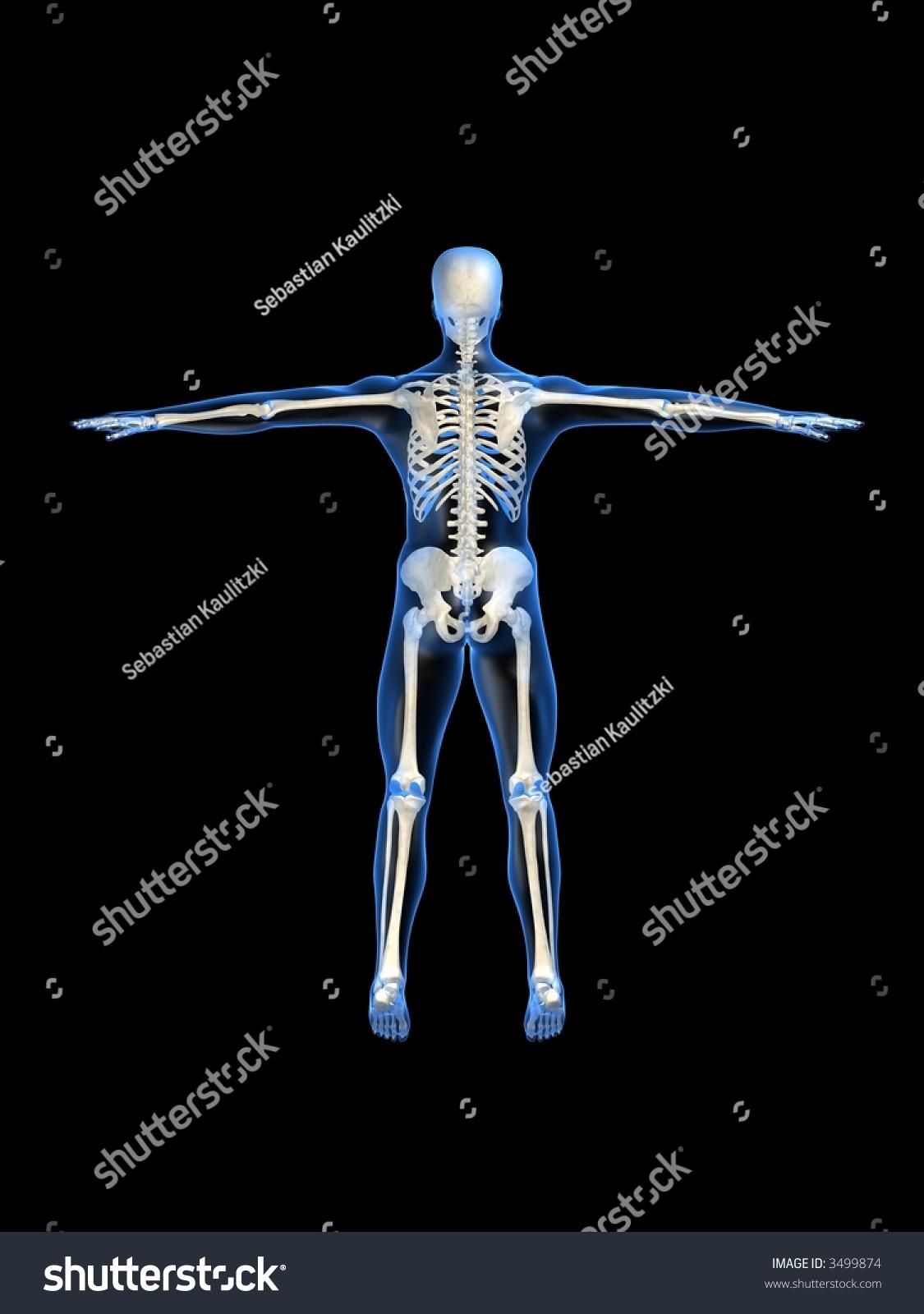 human skeleton back | EZ Canvas