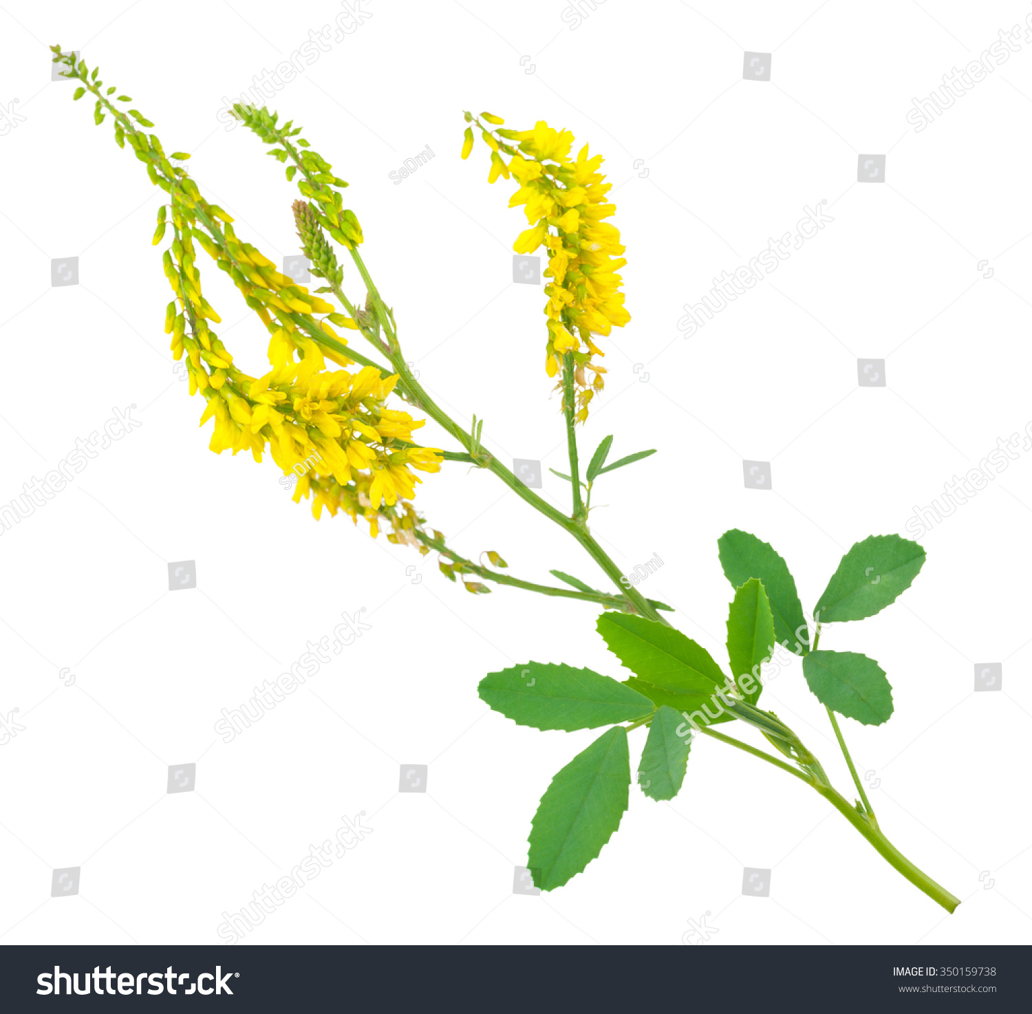 Medicinal Plant Melilotus Officinalis Yellow Sweet Clower Ez Canvas