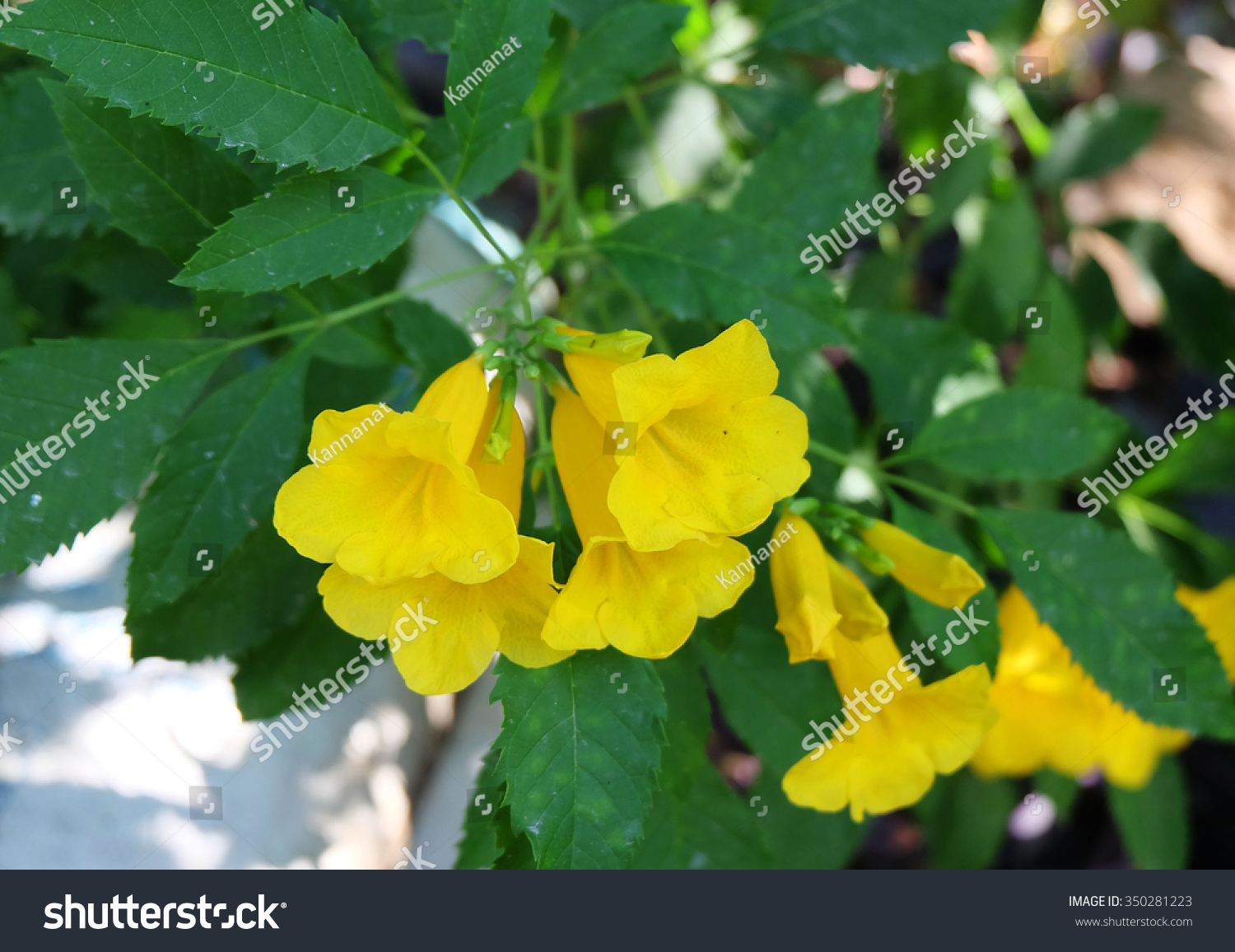 Yellow Elder Trumpet Bush Trumpet Flower Yellow Trumpet Flower
