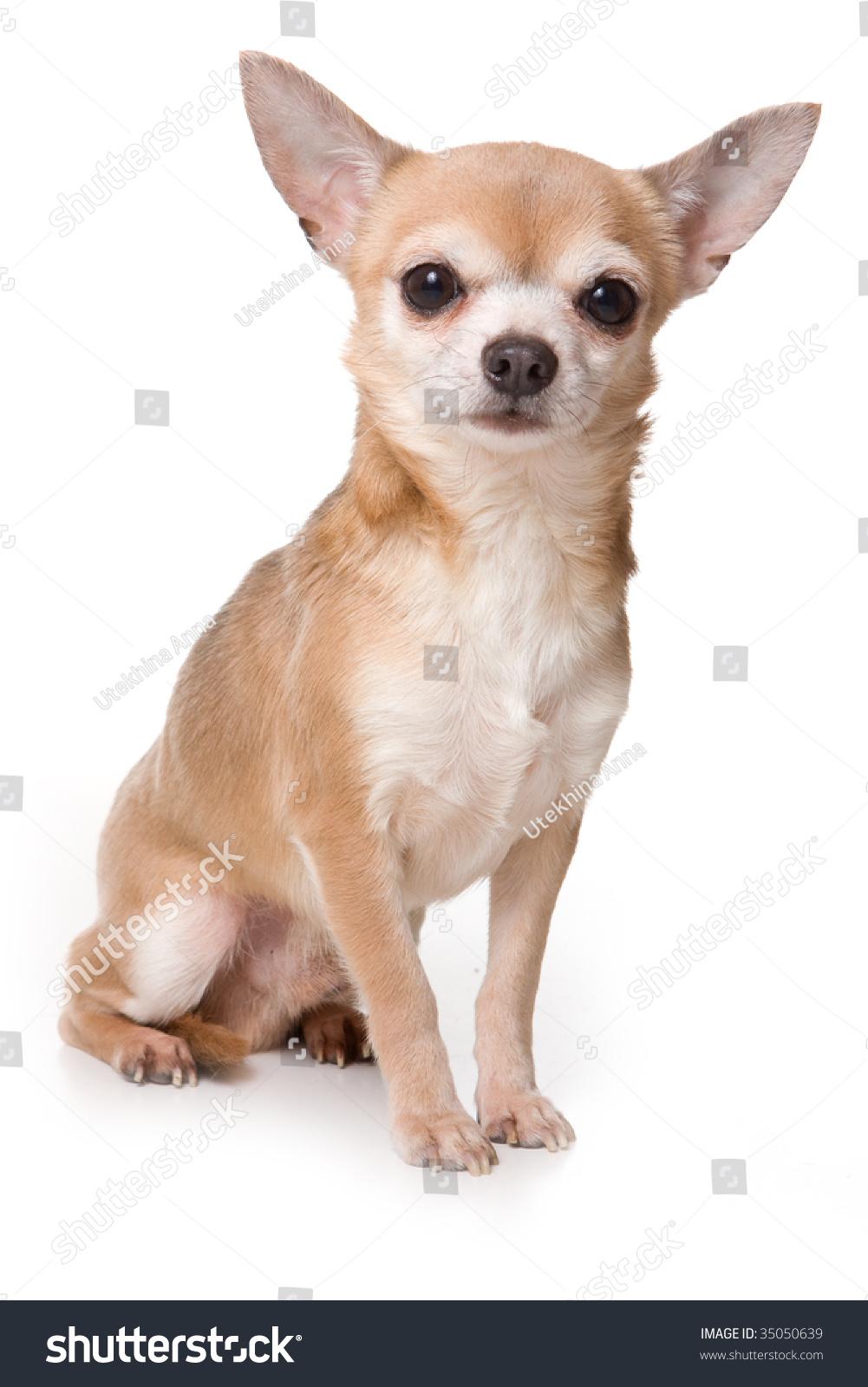 dog chihuahua background - photo #10