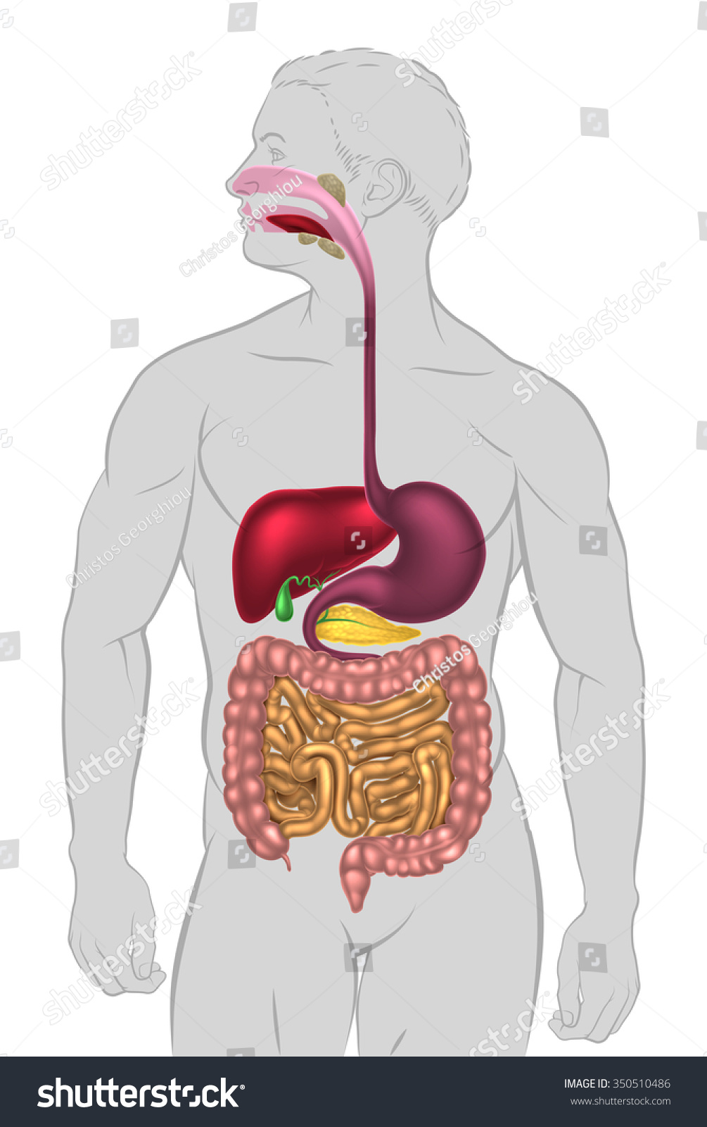Illustration Human Digestive System Digestive Tract Stock Vector