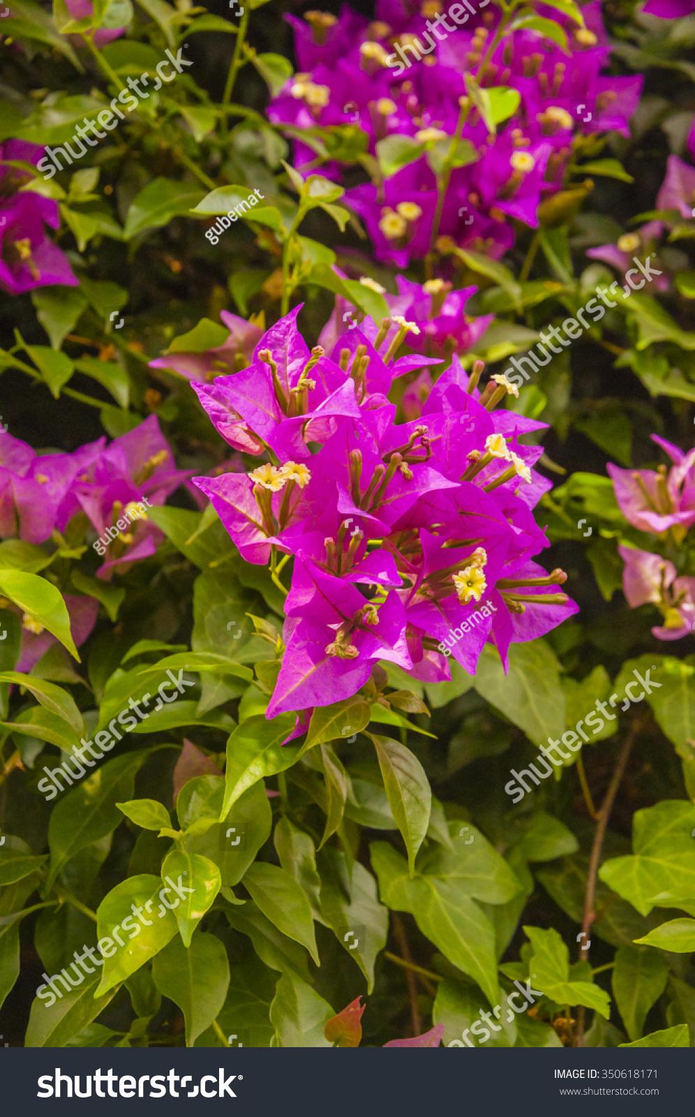 Bougainvillea Paper Flower In Colorful Color Ez Canvas