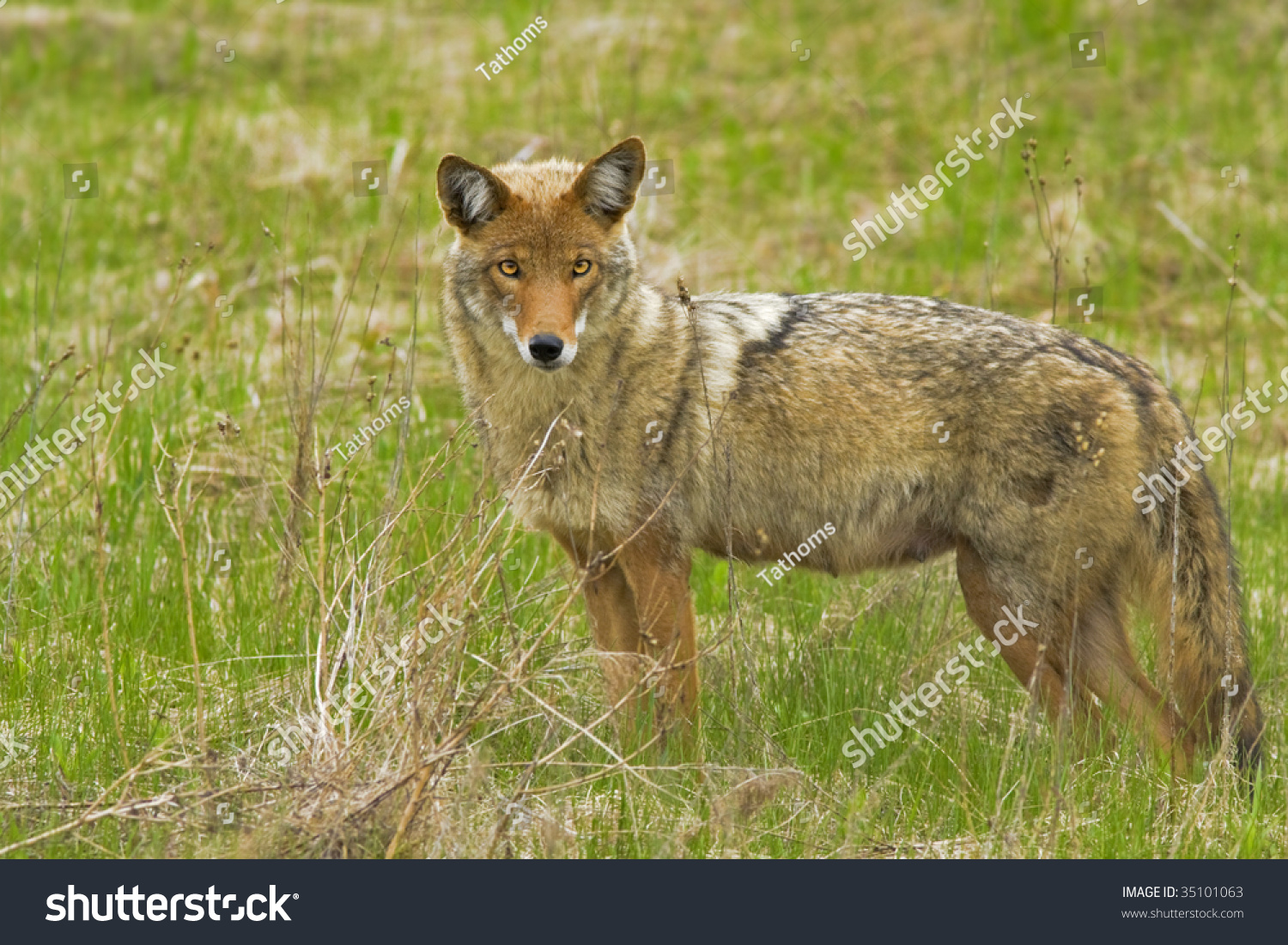 coyote, female, Canis latrans