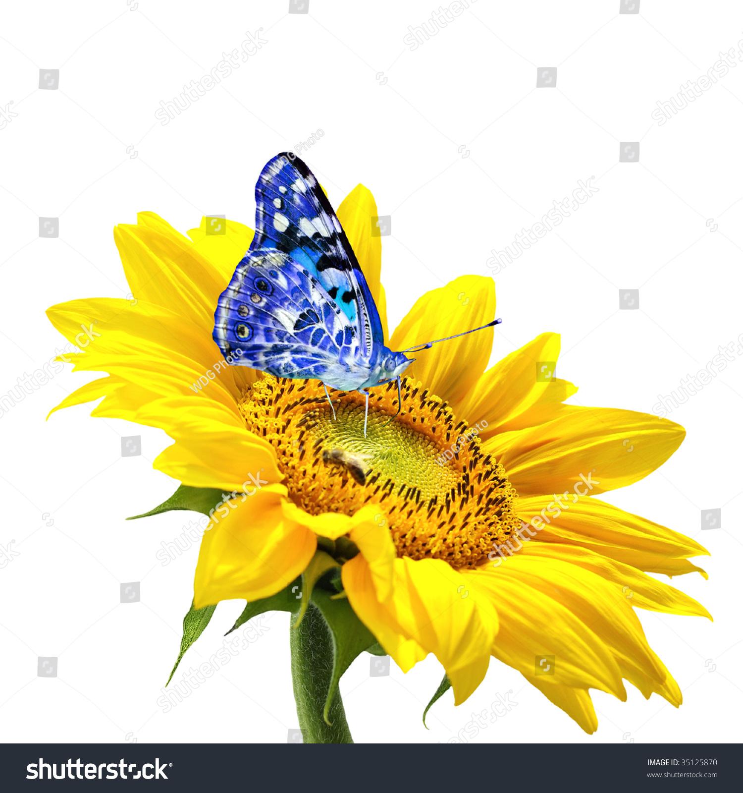 Sunflower Blue Butterfly Stock Photo 35125870 - Shutterstock