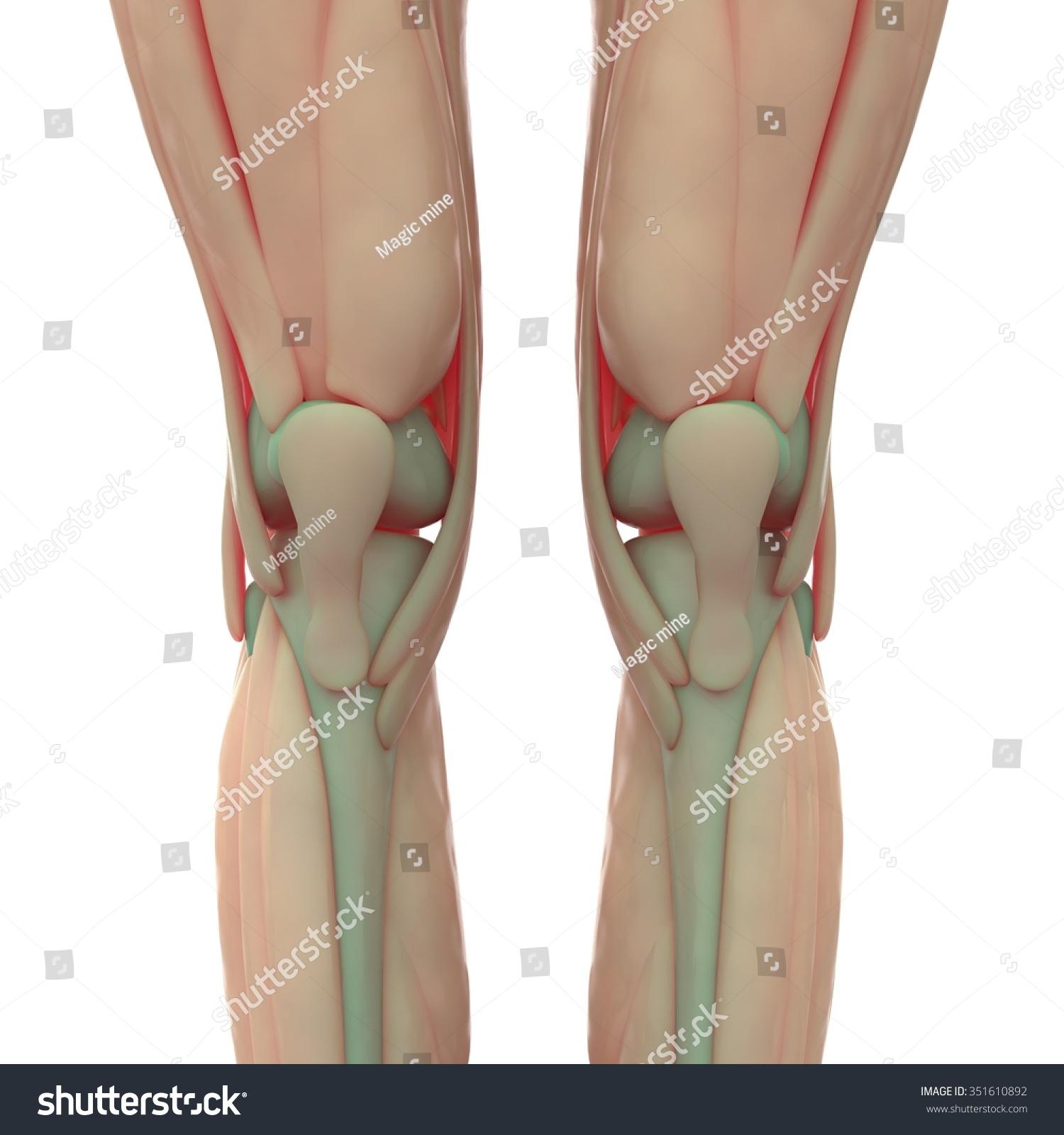 Human Knee Joints Muscles Stock Illustration 351610892 Shutterstock
