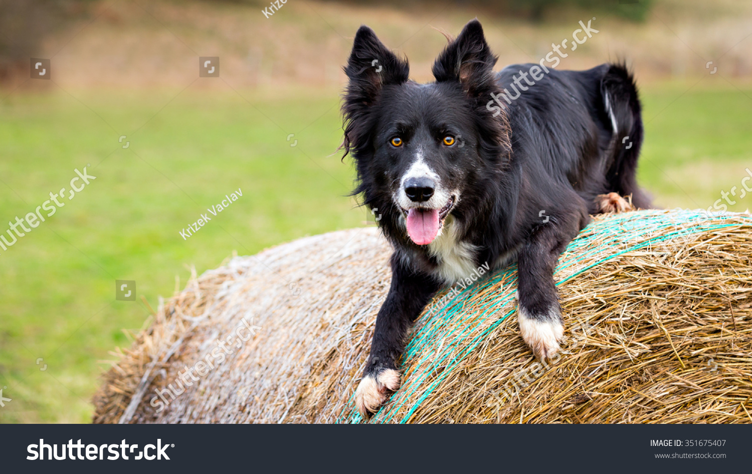 Male Border Collie dog on haystack. Photograph with space for your text on left side #351675407