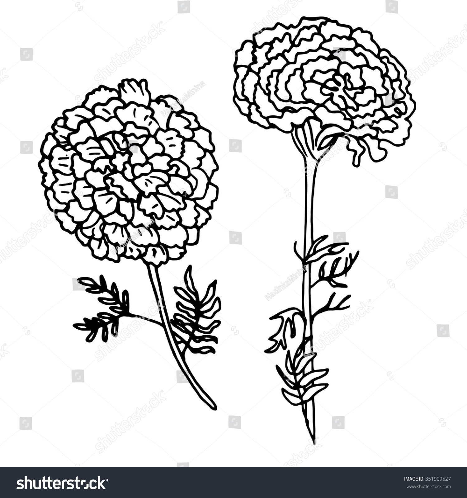 Vector Illustration Hand Drawn Marigold Isolated Stock ...
