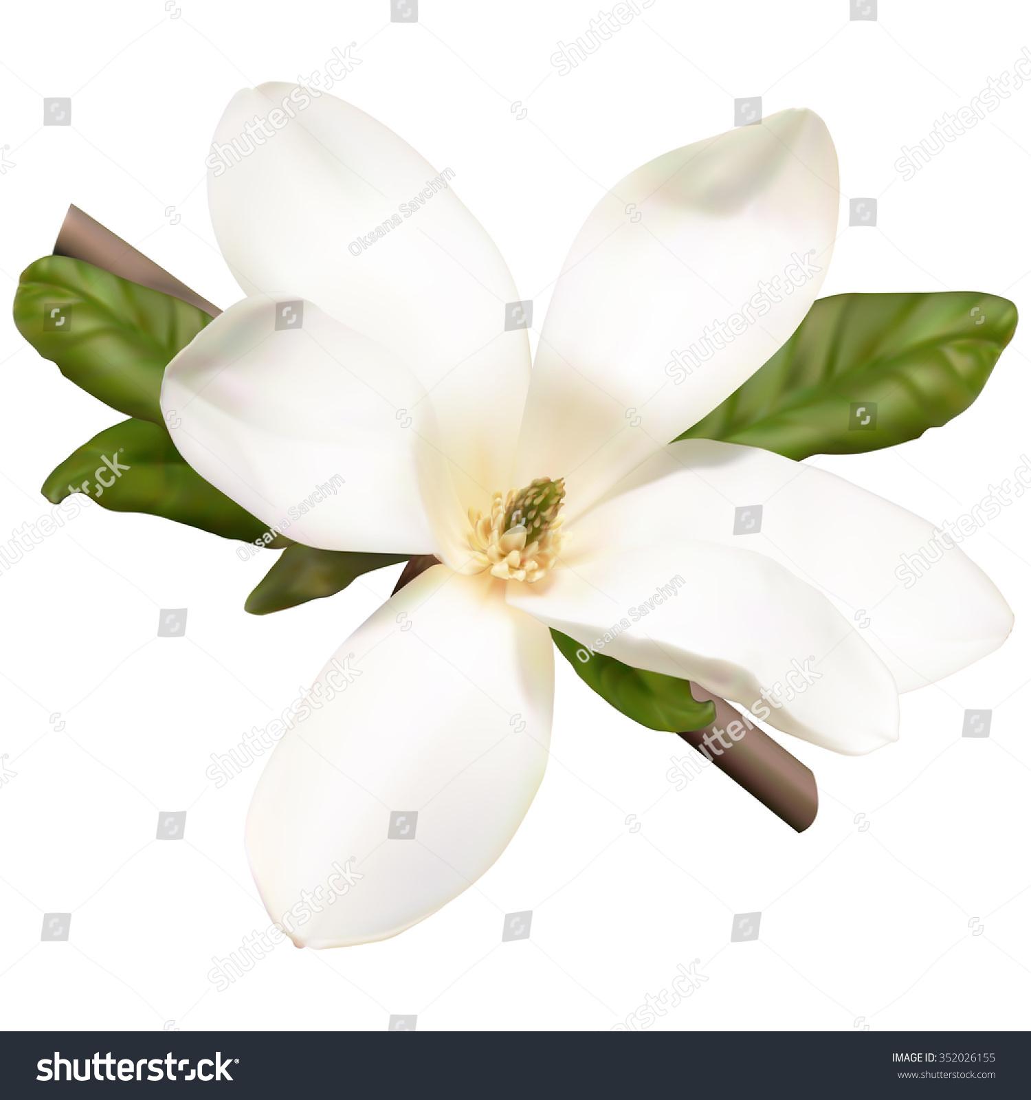 White Magnolia Flower Stock Illustration 352026155 Shutterstock