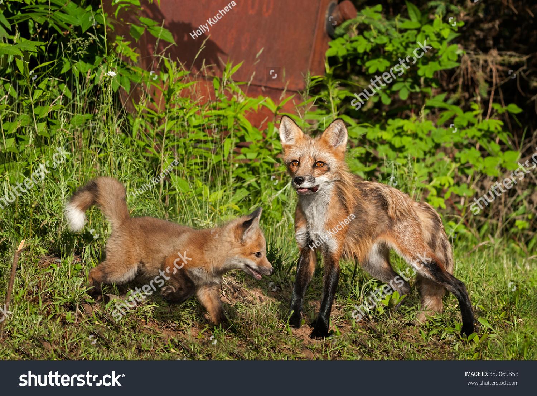 Red Fox Vixen Vulpes Vulpes Kit Stock Photo 352069853