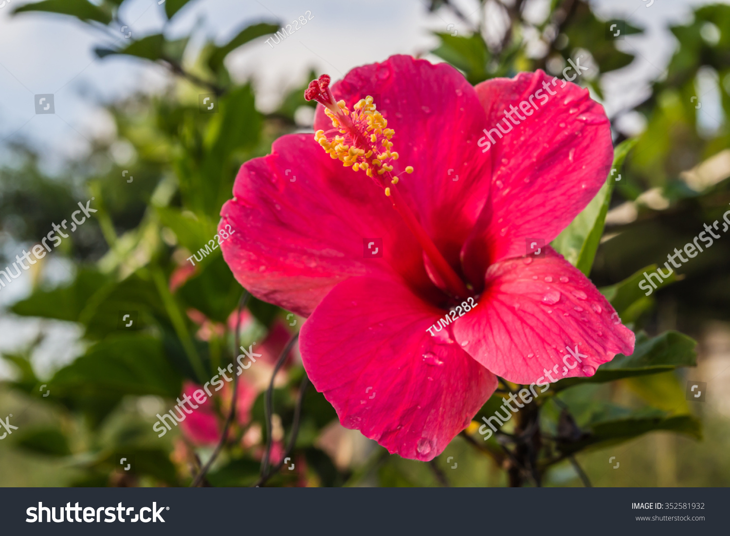Hibiscus Flower In A Garden Ez Canvas